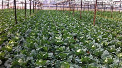 Photo of Откупната цена на зелката до 20-ти април – минимум 15 денари за килограм