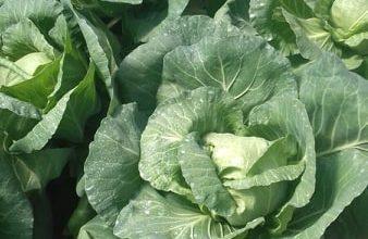 Photo of МЗШВ: Со интервентна мерка ќе се покријат загубите на производителите на зелка