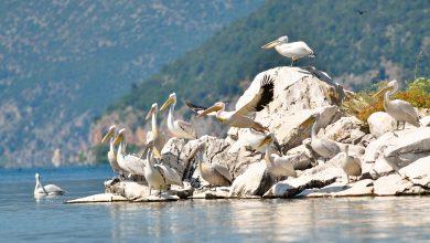 Photo of МЕД го одбележува Светскиот ден на биодиверзитетот со пребројување на пеликаните од Преспанското Езеро