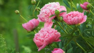 Photo of Божур (lat. Paeonia)