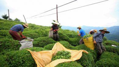 Photo of Турција се подготвува за берба на чај и покрај пандемијата од коронавирус