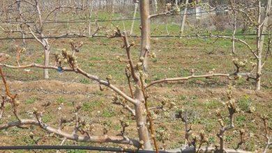 Photo of Биолошката улога на микро-елементот цинк (Zn) за јаболковите и крушовите насади