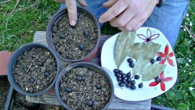 Photo of Како да одгледувате ловор во саксија
