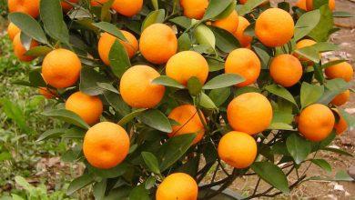 Photo of Како успешно да одгледувате мандарина во саксија?