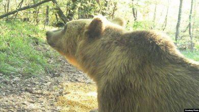 Photo of Мечките на Шар Планина имаат заштита од жители на Доброште