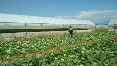 Photo of Производителите на зелка извисија, помпезно најавуваната субвенција од три денари ќе се исплаќа следната година