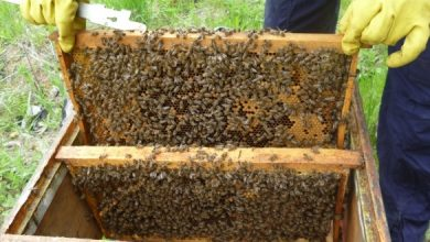 Photo of Улогата на пчелите во опрашување на овошките