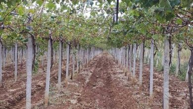 Photo of Ќе настрада ли и годинава трпезното грозје во Tиквешијата?