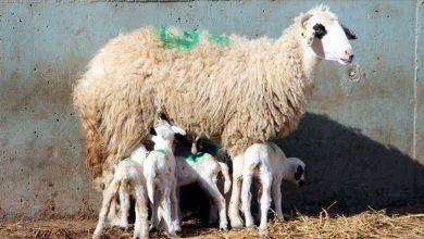 Photo of Во Шкотска се бараат овчари, плата 24.500 евра месечно