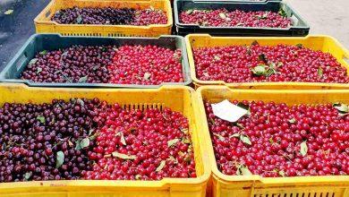 Photo of Бербата на вишни е во полн ек, Димковски на средба со производителите и откупувачите