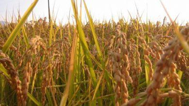 Photo of Која култура е поисплатлива- соја или шеќерна репа