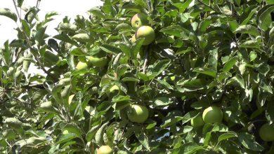 Photo of Брвенчани започнаа да ги корнат јаболковите насади