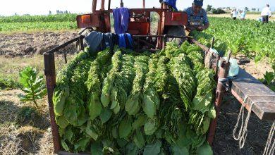 Photo of Тутунопроизводителите бараат повисока цена, нема аргати кои ќе го соберат тутунот