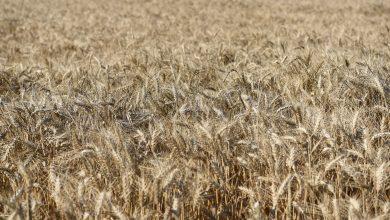 Photo of Жетвата на пченицата во Пелагонија  привршува, приносите се солидни и со добар квалитет
