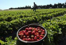 Photo of Невработените Финци берат јагоди за време на пандемијата