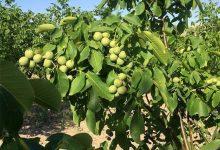 """Photo of Производителите на ореви формираат здружение,,Чендлер Македонија"""""""