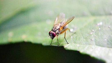 Photo of Како да се ослободите од овошните муви без инсектициди