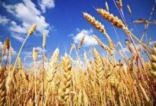 Photo of Жетвата во Хрватска во полн ек, откупната цена на пченица  0,90 кн / кг?