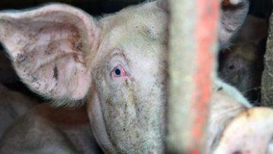 Photo of Финишира категоризацијата на свињарските фарми
