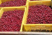 Photo of Привршува откупот на вишни во делчевско