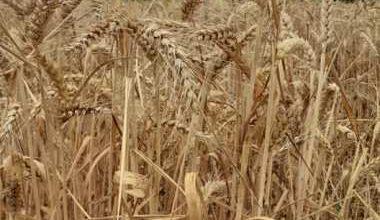 Photo of Врнежливото време  ја запре жетвата во Пелагонија во самиот финиш
