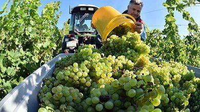 Photo of Лозарите испратија дописи до странските амбасади во земјава за извоз на грозјето Лозарите испратија дописи до странските амбасади во земјава за извоз на грозјето | opserver.mk