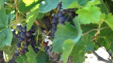 Photo of Нема грозје за домашните винарии ако тие не ги покачат цените најмалку на старото ниво