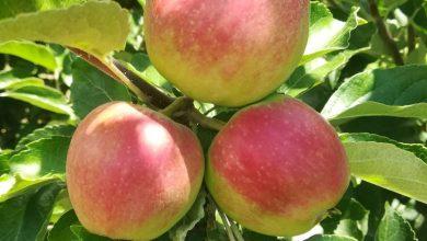 Photo of Тече бербата на јаболка, овоштарите од Преспа се надеваат дека нема да  имаат проблеми со пласманот