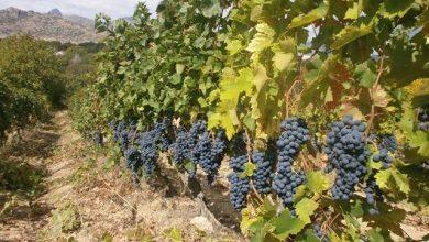 Photo of Ако не се договорат лозарите и винарниците, државата ќе ја спасува винската индустрија од колапс?
