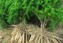 Photo of Растението Шатавари (Asparagus racemosus)-кралица на лековитите билки