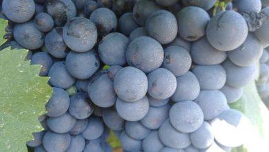 Photo of Одредување на зрелоста на грозјето