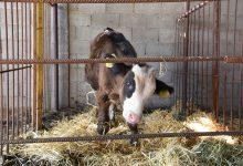 Photo of Исхрана на стелни крави