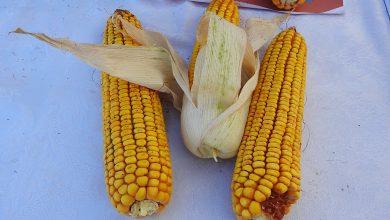 Photo of Берба (жетва) и складирање на пченка