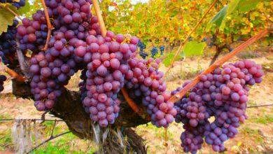 Photo of Станушина- наша единствена автохтона сорта на грозје
