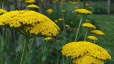 Photo of Ајдучка трева
