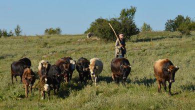 Photo of Цане Велковачев го одгледува едно од последните стада на говеда-буша во Мариово