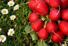 Photo of Ротквица – го отвора апетитот и лесно се одгледува