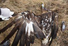 """Photo of Во следните пет години ќе се спречува труењето на дивите животни преку проектот """"Балкан Детокс LIFE"""""""