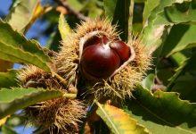 Photo of Костен, овошје што ја симболизира есента