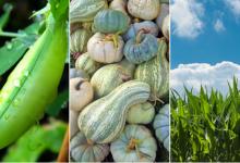 Photo of Зошто треба да одгледувате тикви, пченка и грав заедно?