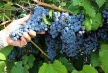 Photo of Совети за почетници: Како да одгледувате грозје во вашиот двор