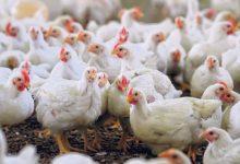 Photo of На живинарска фарма во Холандија се појави птичји грип