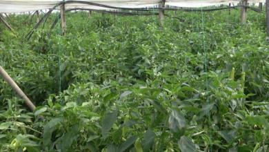 Photo of Струмичката лута пиперка се помалку се произведува