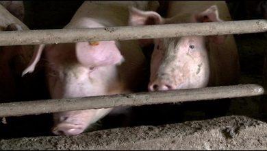 """Photo of По искоренувањето на """"свинската чума"""", операторите ќе може да извезуваат во ЕУ"""