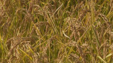 Photo of Земјоделците и оризопроизводителите бараат антикризни мерки