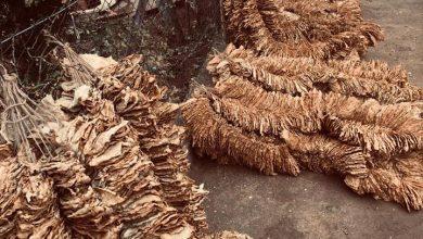 Photo of Лага е дека се предава само неквалитетен тутун, има тутунари што ја предадоа целата реколта која им е проценета на 3 и 4 класа