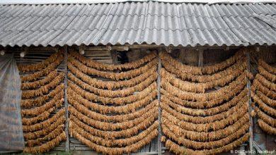 Photo of 1608 земјоделци од Прилепско и Долнени пријавиле 1,5 милиони килограми вишок на тутун