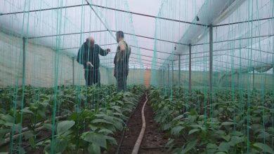 Photo of Почнаа бербите на лутите пиперки во Банско