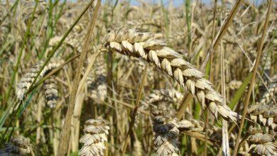 Photo of Ковид-19 ја зголеми цената на пченицата на 14 и 15 денари за килограм