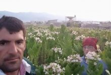 Photo of Марин Јованоски од Прилеп ги подготвува леите за новата реколта со тутун